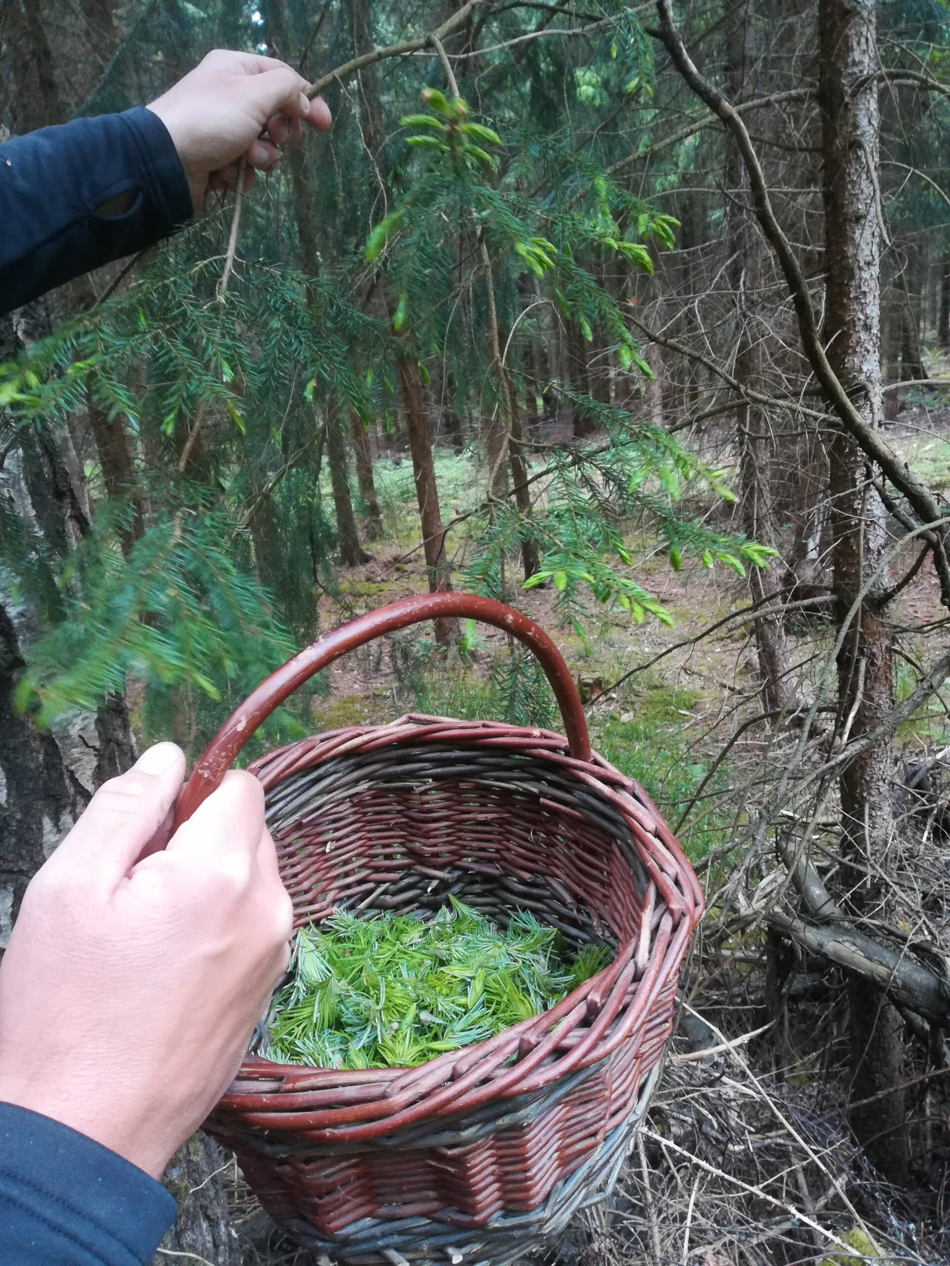Spæde granskud i skoven